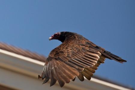 aura: Turkey Vulture (Cathartes aura) in flight. Stock Photo