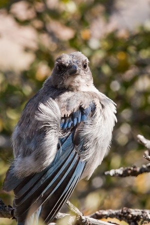 Western Scrub Jay (Aphelocoma californica). The Western Scrub Jay, is a species of scrub-jay native to western North America. photo