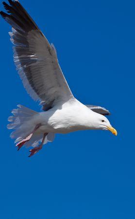 Gulls (often informally called seagulls) are birds in the family Laridae. photo