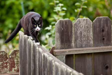 Cat is walking on a fence. Neighbors' cat is staring at photographer.