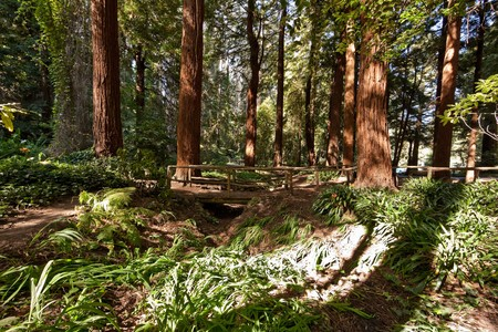 Sunlit Redwood Tree Forest.  Dense coniferous wood on a sunny day. photo