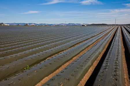 recently: Agricultural field with recently planted lettuce