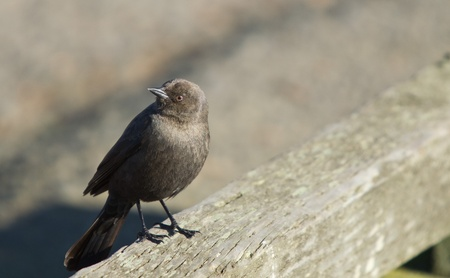 Female Brewers Blackbird (Euphagus cyanocephalus) is a medium-sized New World blackbird. photo