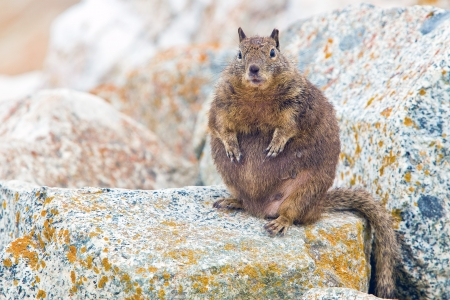 Overfed Fat Squirrel.  Squirrels belong to a large family of small or medium-sized rodents called the Sciuridae. 版權商用圖片