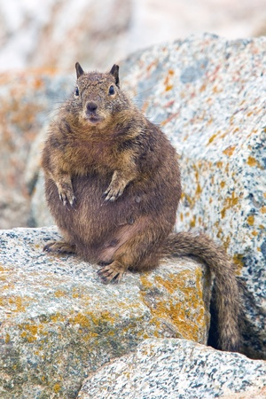 Overfed Fat Squirrel.  Squirrels belong to a large family of small or medium-sized rodents called the Sciuridae. Фото со стока