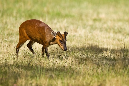 Indian Muntjac.  The Indian Muntjac (Muntiacus muntjak) is also commonly called the  Stock Photo