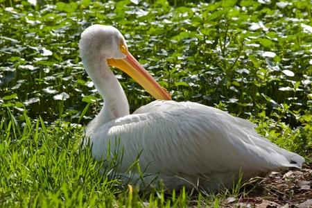 aquatic bird: American White Pelican (Pelecanus erythrorhynchos). The American White Pelican is a large aquatic bird from the order Pelecaniformes.