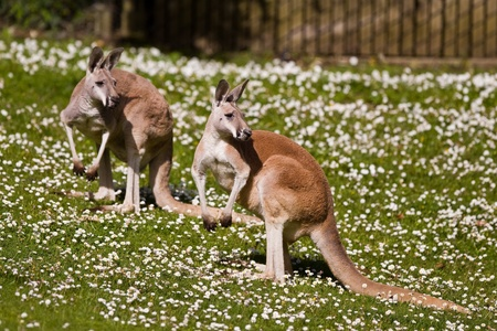 marsupial: Red Kangaroo (Macropus rufus).  The Red Kangaroo (Macropus rufus) is the largest of all kangaroos, the largest mammal native to Australia, and the largest surviving marsupial. Stock Photo