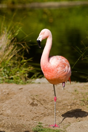 Chilean Flamingo (Phoenicopterus chilensis).  The Chilean Flamingo is a large species closely related to Caribbean Flamingo and Greater Flamingo.