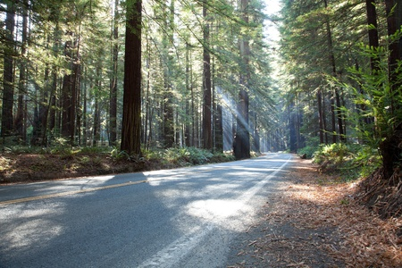 Sunbeams of morning sunlight shine through redwood forest and lighting a forest road in Redwood National and State Parks in northernmost coastal California. photo