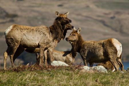 elk point: Tule Elk (Cervus canadensis) in a wilderness at Point Reyes National Seashore, California.