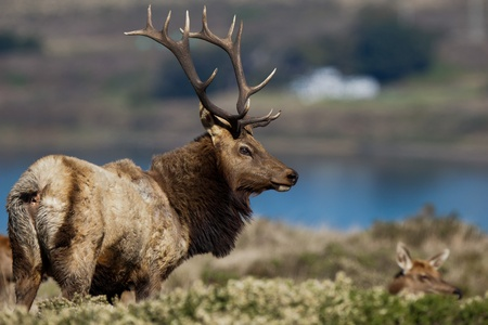 Tule Elk (Cervus canadensis) in a wilderness at Point Reyes National Seashore, California.