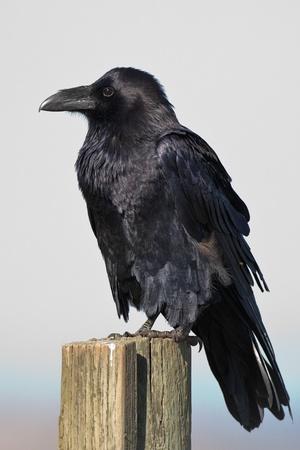 Resting Common Raven (Corvus corax).