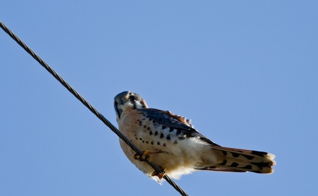 curved leg: American Kestrel (Falco sparverius), sometimes colloquially known as the Sparrow Hawk. It is the most common falcon in North America