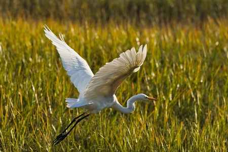 Great Egret in flight. The Great Egret (Ardea alba), also known as the Great White Egret or Common Egret.   Stock Photo