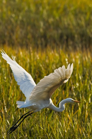 Great Egret in flight. The Great Egret (Ardea alba), also known as the Great White Egret or Common Egret.   Stock fotó