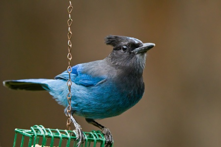 Stellers Jay (Cyanocitta stelleri).  A large, dark jay of evergreen forests in the mountainous West. photo