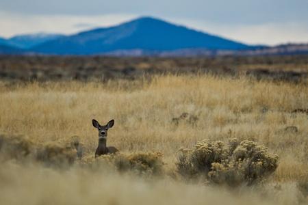 odocoileus: Mule deer (Odocoileus hemionus).  The mule deer is a deer indigenous to western North America, named for its large mule-like ears.