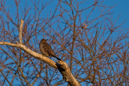 gaffer: Northern Flicker (Colaptes auratus). The Northern Flicker is a medium-sized member of the woodpecker family.