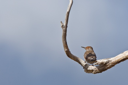 flicker: Northern Flicker (Colaptes auratus). The Northern Flicker is a medium-sized member of the woodpecker family.