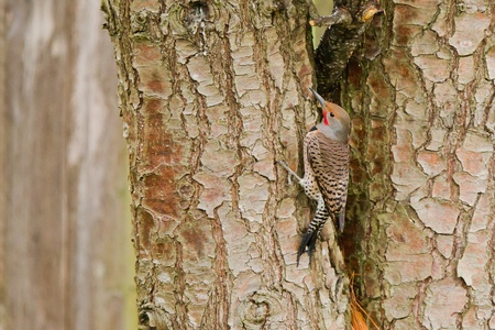 Northern Flicker (Colaptes auratus). The Northern Flicker is a medium-sized member of the woodpecker family.
