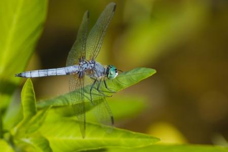 pondhawk: Eastern Pondhawk  Erythemis simplicicollis
