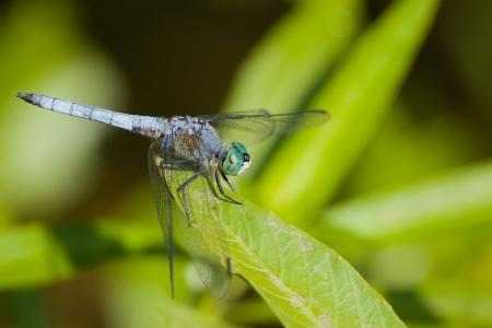 simplicicollis: Eastern Pondhawk  Erythemis simplicicollis