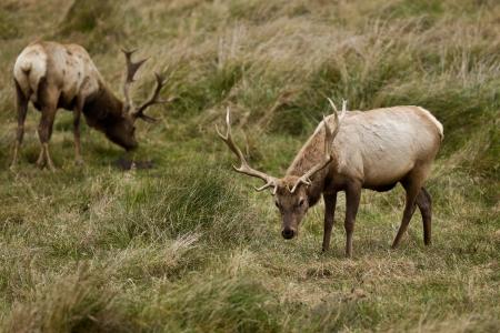 elk point: Bull Tule Elk  Cervus canadensis  in a wilderness at Point Reyes National Seashore, California  Stock Photo