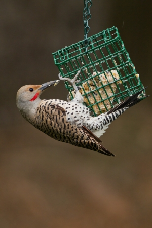 flicker: Northern Flicker is a medium-sized member of the woodpecker family    Stock Photo