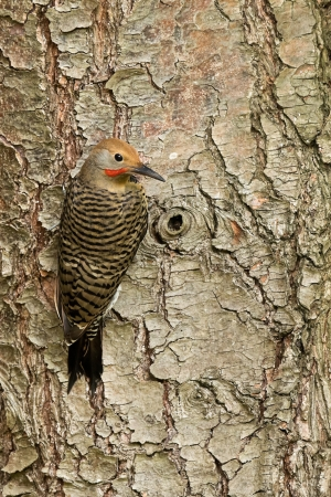 Northern Flicker is a medium-sized member of the woodpecker family    Stock Photo