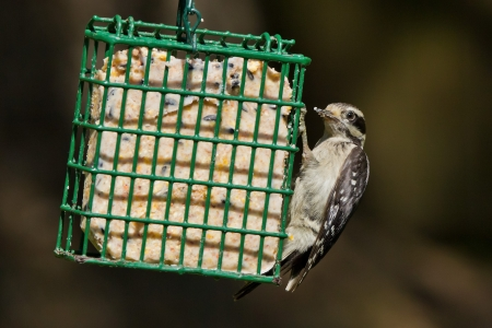 downy woodpecker: Downy Woodpecker  Picoides pubescens   The Downy Woodpecker is a species of woodpecker, the smallest in North America