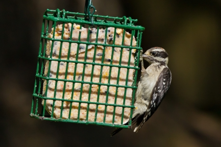 downy woodpecker: Downy Woodpecker  Picoides pubescens   The Downy Woodpecker is a species of woodpecker, the smallest in North America     Stock Photo