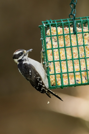 Downy Woodpecker  Picoides pubescens   The Downy Woodpecker is a species of woodpecker, the smallest in North America Stock Photo - 16606611