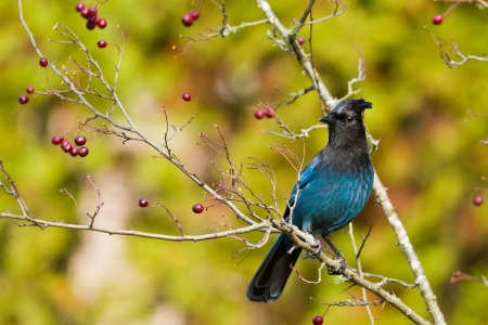 Steller s Jay Stock Photo - 20368843