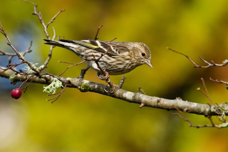 Pine Siskin  Carduelis pinus    The Pine Siskin is a North American bird in the finch family