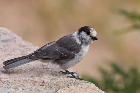 Gray Jay  Perisoreus Canadensis  is a member of the crow and jay family   photo