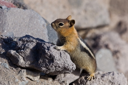 Golden-mantled ground squirrel  Callospermophilus lateralis   The golden-mantled ground squirrel is a type of ground squirrel found in mountainous areas of western North America  Stock Photo - 20389339