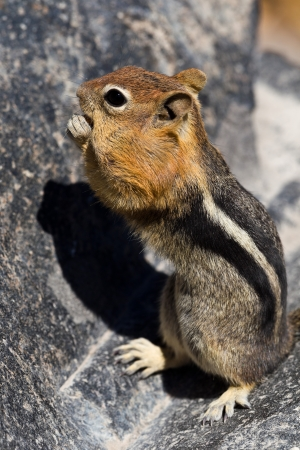 Golden-mantled ground squirrel  Callospermophilus lateralis   The golden-mantled ground squirrel is a type of ground squirrel found in mountainous areas of western North America Stock Photo - 20389348