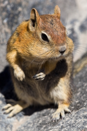 Golden-mantled ground squirrel  Callospermophilus lateralis   The golden-mantled ground squirrel is a type of ground squirrel found in mountainous areas of western North America Stock Photo - 20389270