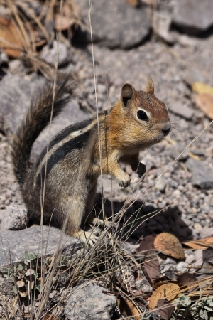 sitting on the ground: Golden-mantled ground squirrel  Callospermophilus lateralis   The golden-mantled ground squirrel is a type of ground squirrel found in mountainous areas of western North America  Stock Photo