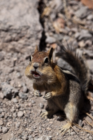 Golden-mantled ground squirrel  Callospermophilus lateralis   The golden-mantled ground squirrel is a type of ground squirrel found in mountainous areas of western North America Stock Photo - 20389272