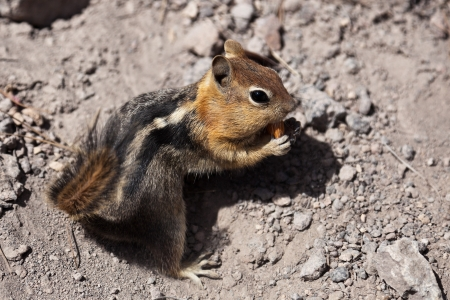 Golden-mantled ground squirrel  Callospermophilus lateralis   The golden-mantled ground squirrel is a type of ground squirrel found in mountainous areas of western North America Stock Photo - 20389346