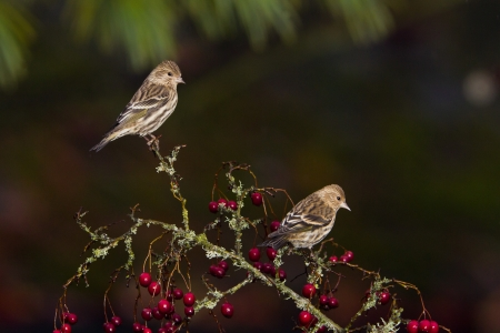 Pine Siskin  Carduelis pinus    The Pine Siskin is a North American bird in the finch family  photo