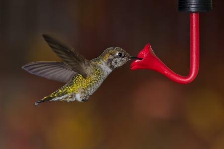 flapping: Hummingbird and feeder   Side view of hummingbird hovering next to a bird feeder    Stock Photo