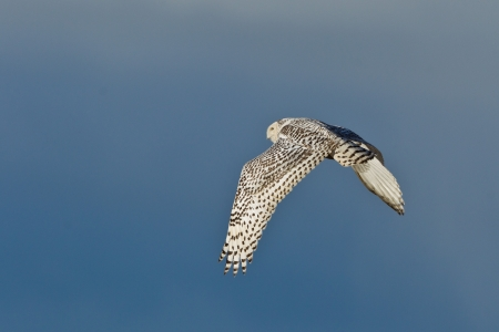 chordata: Snowy Owl  Bubo scandiacus    The Snowy Owl is a large owl of the typical owl family Strigidae
