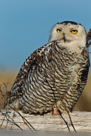 strigiformes: Snowy Owl  Bubo scandiacus    The Snowy Owl is a large owl of the typical owl family Strigidae