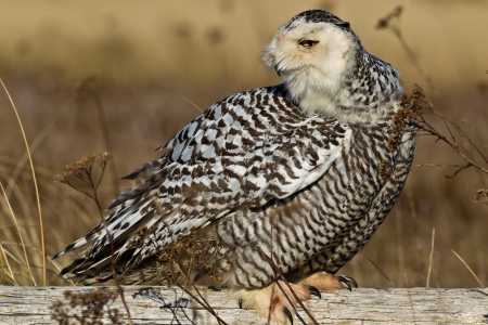 chordata phylum: Snowy Owl Bubo scandiacus El b?ho Nevado es un gran b?ho de la lechuza t?pica familia Strigidae