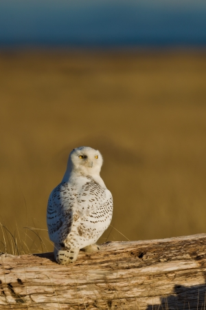 strigiformes: Snowy Owl  Bubo scandiacus    The Snowy Owl is a large owl of the typical owl family Strigidae   Stock Photo