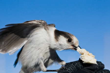 Gray Jay  Perisoreus Canadensis   Feeding gray jay on a hand Stock Photo - 20389362