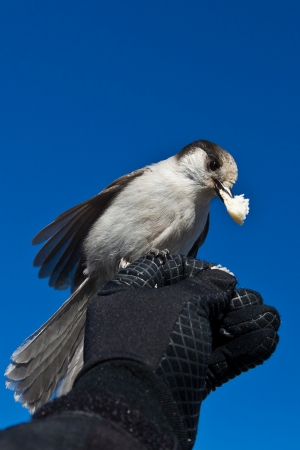 Gray Jay  Perisoreus Canadensis   Feeding gray jay on a hand   photo
